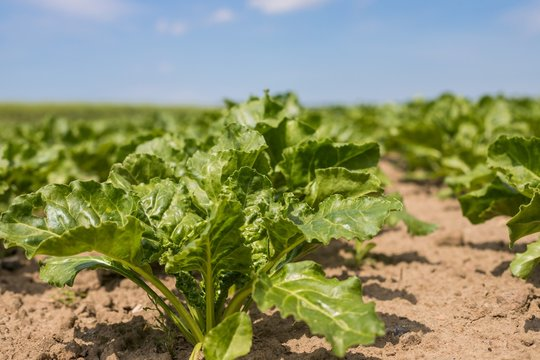 Young green beet plants on the field. Young beet Plants