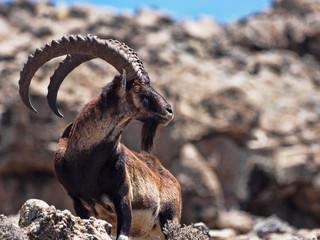 Fototapeta Capra walia, Walia ibex, is the rarest ibex, in the Simien Mountains of Ethiopia lives about 500 animals. obraz
