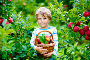 Active happy blond kid boy picking and eating red apples on organic farm, autumn outdoors