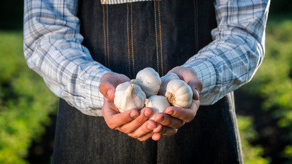A man holds several garlic bulbs. Products from your garden Wall mural