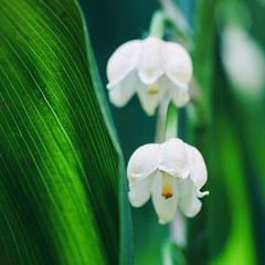 Spoed Foto op Canvas Lelietje van dalen Blossoming flowers of lily of the valley in early morning outdoors macro
