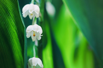 Spoed Foto op Canvas Lelietje van dalen Lily of the valley flowers in early morning outdoors macro