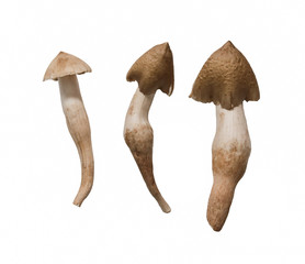 Thai mushroom ,termite mushroom isolated on white background