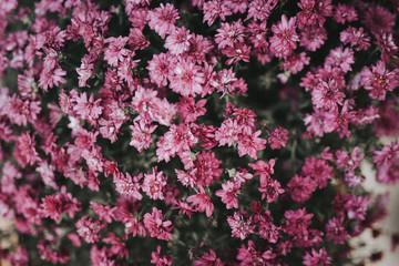 Pink chrysanthemums blooming in garden