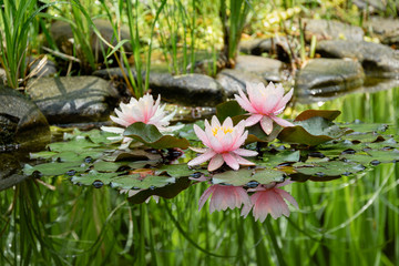 Magic of nature with three pink water lilies or lotus flowers Marliacea Rosea after rain. Nympheas with water drops are reflected in dark pond water with beautiful bright green plants. Selective focus