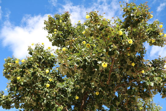 Abelmoschus manihot tree, Queensland Australia