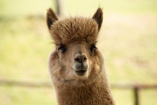 Portrait of brown alpaca