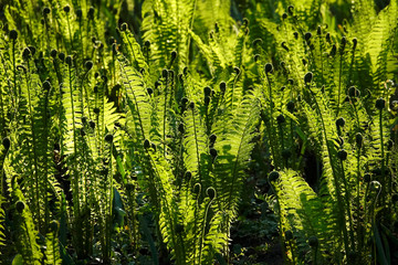 Green fern leaves and sunlight