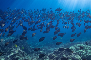 School of fish in blue water over coral reef