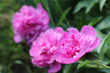 Bush bright pink peonies in a park Photo