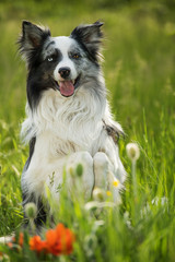 Border collie dog sitting on hind legs and looking to the camera