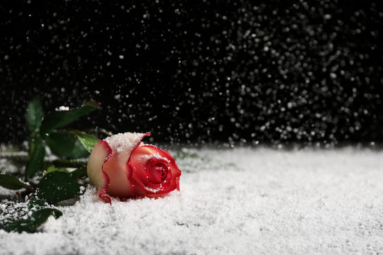 Beautiful rose in snow on table against black background, space for text