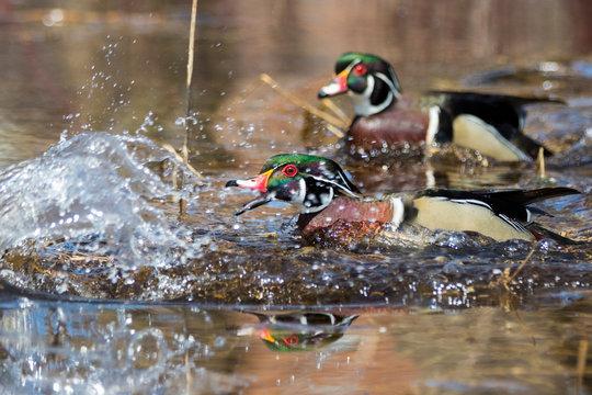 wood ducks males in fight