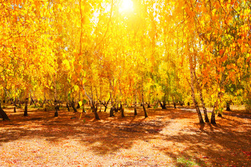 Foto op Canvas Landschappen Trees with yellow leaves in autumn forest at sunny day. Beautiful autumn landscape