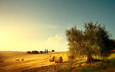 Summer countryside landscape; farm field and olives tree Fotoväggar