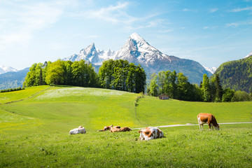 Idyllic summer landscape in the Alps with cows grazing on meadows