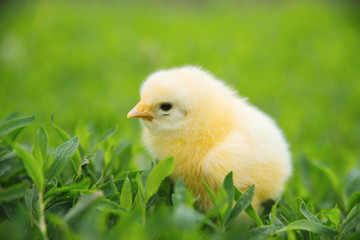 Photo of cute small yellow baby chicken standing on green grass in garden