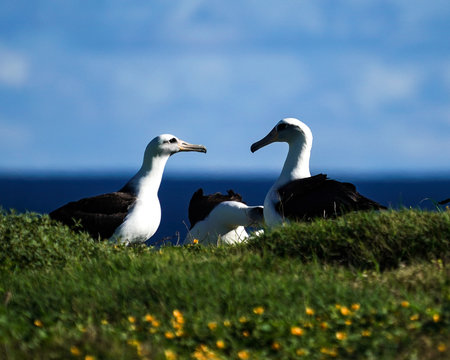 Albatross mating, nesting, and in flight the Peace and Grace of the Albatross gliding above deep blue seas and in cloudy blue skies large wing spans perfect portrait of calm, grace, peace