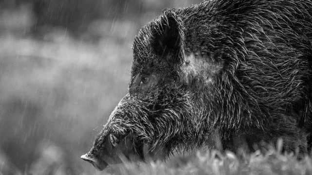 Close up of an isolated hairy wild bore in the forest during winter rain- Romania
