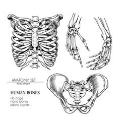 Hand drawn anatomy set. Vector human body parts, bones. Hands, rib cage or ches, pelvic bones. Vintage medicinal illustration. Use for Haloween poster, medical atlas, science realistic image.