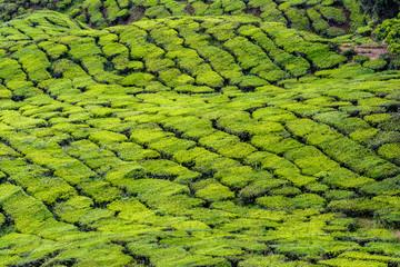 Cameron Highlands tea farm