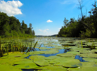 Wall Mural - Water lily leaves on a sunny day. Beautiful summer landscape with a calm transparent surface of the lake and water plants.
