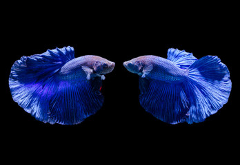 Beautiful blue siamese fighting fish