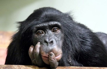 chimp chimpanzee (pan troglodyte looking deep and thoughtful stock photo photograph image picture