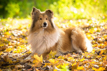 Collie dog lying down on autumn forest