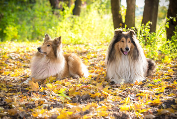 Two Collie dogs lying down on autumn forest