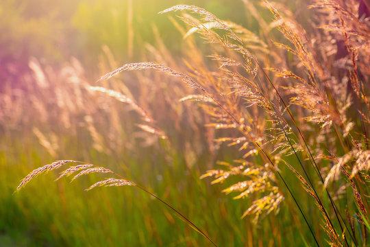 Closeup of native prairie grass at golden hour