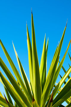 Agave plant with blue sky on background
