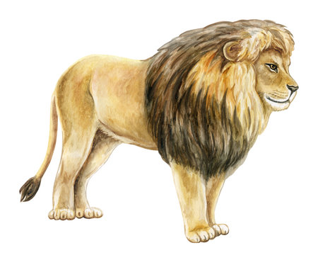 Lion profile watercolor illustration. Realistic lion isolated on white background. Template. Close-up. Clip art. Hand drawn. Clip art.