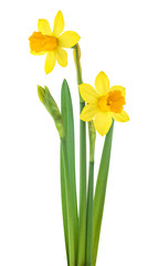 Deurstickers Narcis Narcissus flowers with leaves isolated on white background. Spring season.