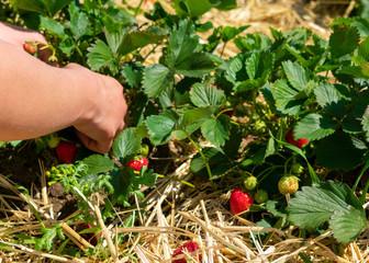 saftige reife Erdbeeren am Strauch und Hände beim abpflücken.  Standort: Deutschland, Nordrhein-Westfalen, Heiden