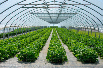 Erdbeeren aus geschütztem Anbau.  Standort: Deutschland, Nordrhein-Westfalen, Heiden