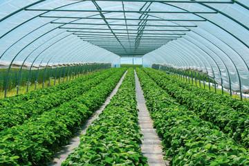 prächtige Erdbeerpflanzen im Erdbeertunnel aus geschütztem Anbau.  Standort: Deutschland, Nordrhein-Westfalen, Heiden