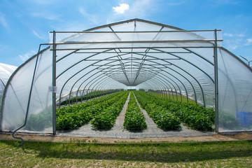 Erdbeerpflanzen im Gewächshaus aus geschütztem Anbau.  Standort: Deutschland, Nordrhein-Westfalen, Heiden