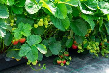 saftige Erdbeeren am Strauch aus geschütztem Anbau.  Standort: Deutschland, Nordrhein-Westfalen, Heiden