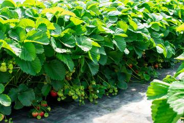 Erdbeerpflanzen aus geschütztem Anbau.  Standort: Deutschland, Nordrhein-Westfalen, Heiden