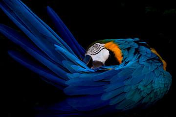 Guacamayo cuidando su plumaje
