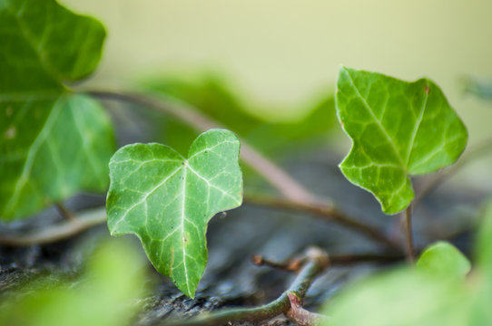 closeup of ivy leaves on wooden background
