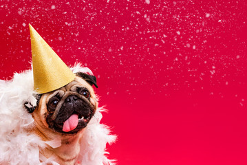A pug dog in a golden cap and white feather boa on a red background. Congratulations on the holiday