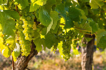 Keuken foto achterwand Wijngaard backlit bunches of ripe Sauvignon Blanc grapes on vine in vineyard with copy space