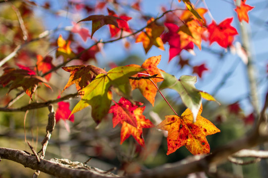 Maple leaves that begin to change colors according to the season.