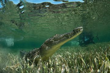 American crocodile underwater in Jardines de la Reina National marine park, Cuba