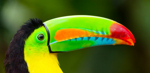 Keel-billed Toucan (Ramphastos sulfuratus), Chagres National Park, Colon Province, Panama, Central America, America