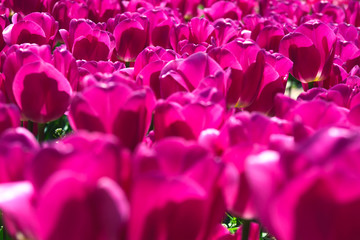 Spoed Foto op Canvas Roze Purple flower tulips on the background of tulips. Tulip field. Growing flowers in spring. Close up tulip.