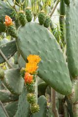 Opuntia ficus-indica - Kaktusfeige