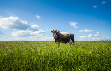 Wall Mural - Dairy cow walks in the green meadow with fresh juicy herbs at sunny day with summer clouds in the sky